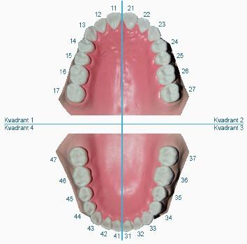 Antal tänder vuxen
